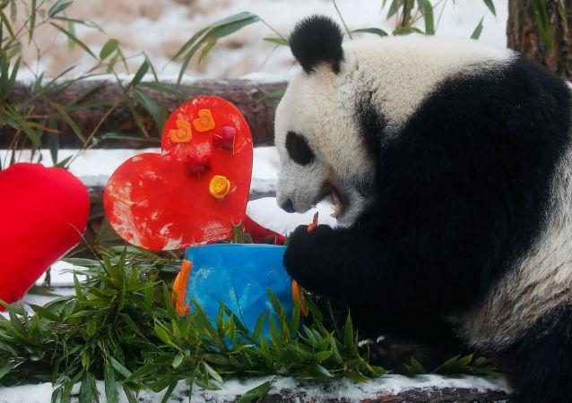大熊貓「丁丁」