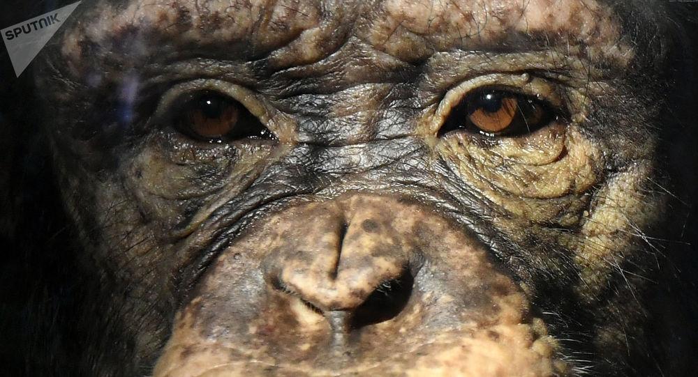 美國科學家:黑猩猩的衰老過程和人類相似