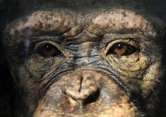 瑞士法院允許將大猿的權益納入憲法