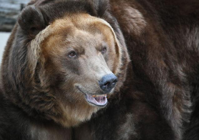 莫斯科州當局給出野外遇熊應對建議