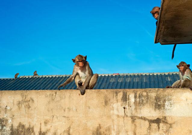 媒體:印度三劫匪和猴子組成犯罪團伙