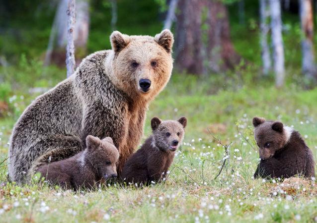 棕熊(資料圖片)