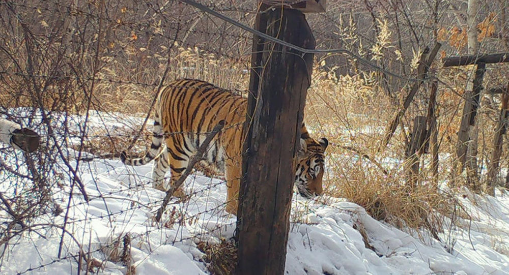 遠東一隻老虎「違反隔離制度「遛彎遛到中國