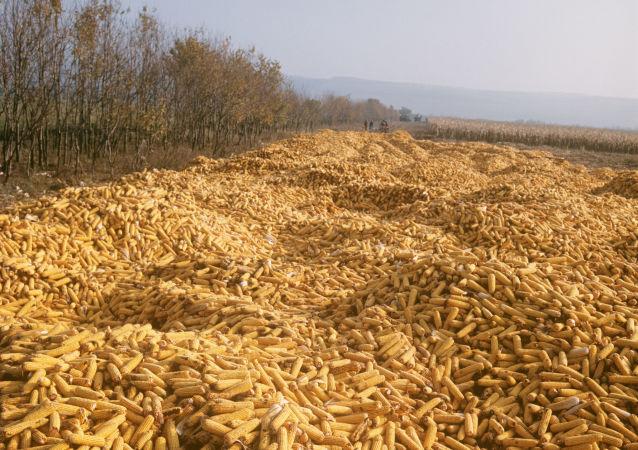 烏克蘭的玉米