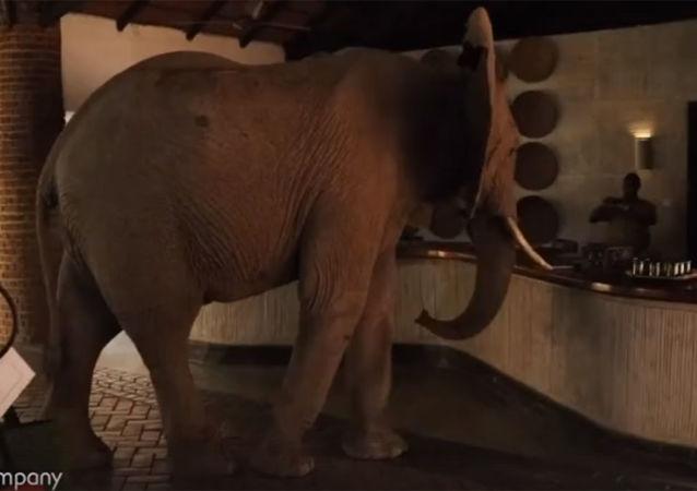 贊比亞一頭大象為吃芒果闖入酒店