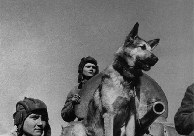 傳奇掃雷犬朱利巴爾斯並未參加1945年紅場閱兵