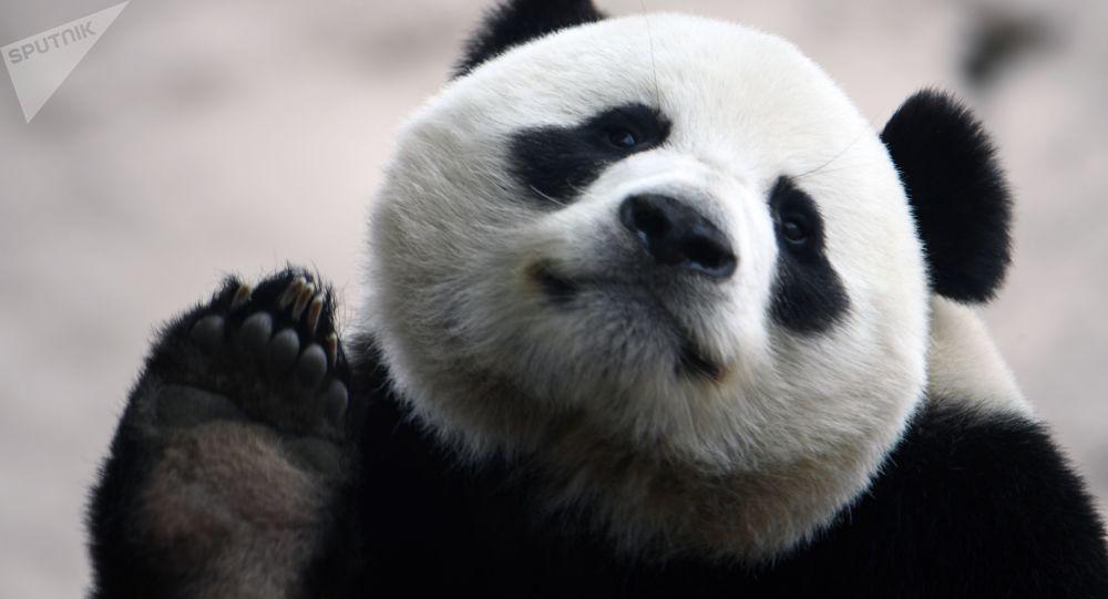 莫斯科動物園講述中國竹子斷供期間如何餵養大熊貓
